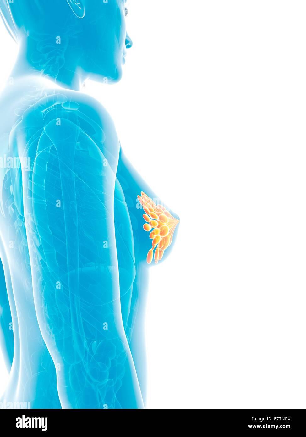 Lujoso Mammary Glands Anatomy Imagen - Anatomía de Las Imágenesdel ...