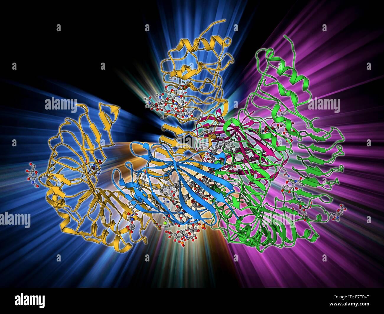 Human pathogen recognition molecule. Molecular model of a complex between human lymphocyte antigen 96 and toll-like - Stock Image