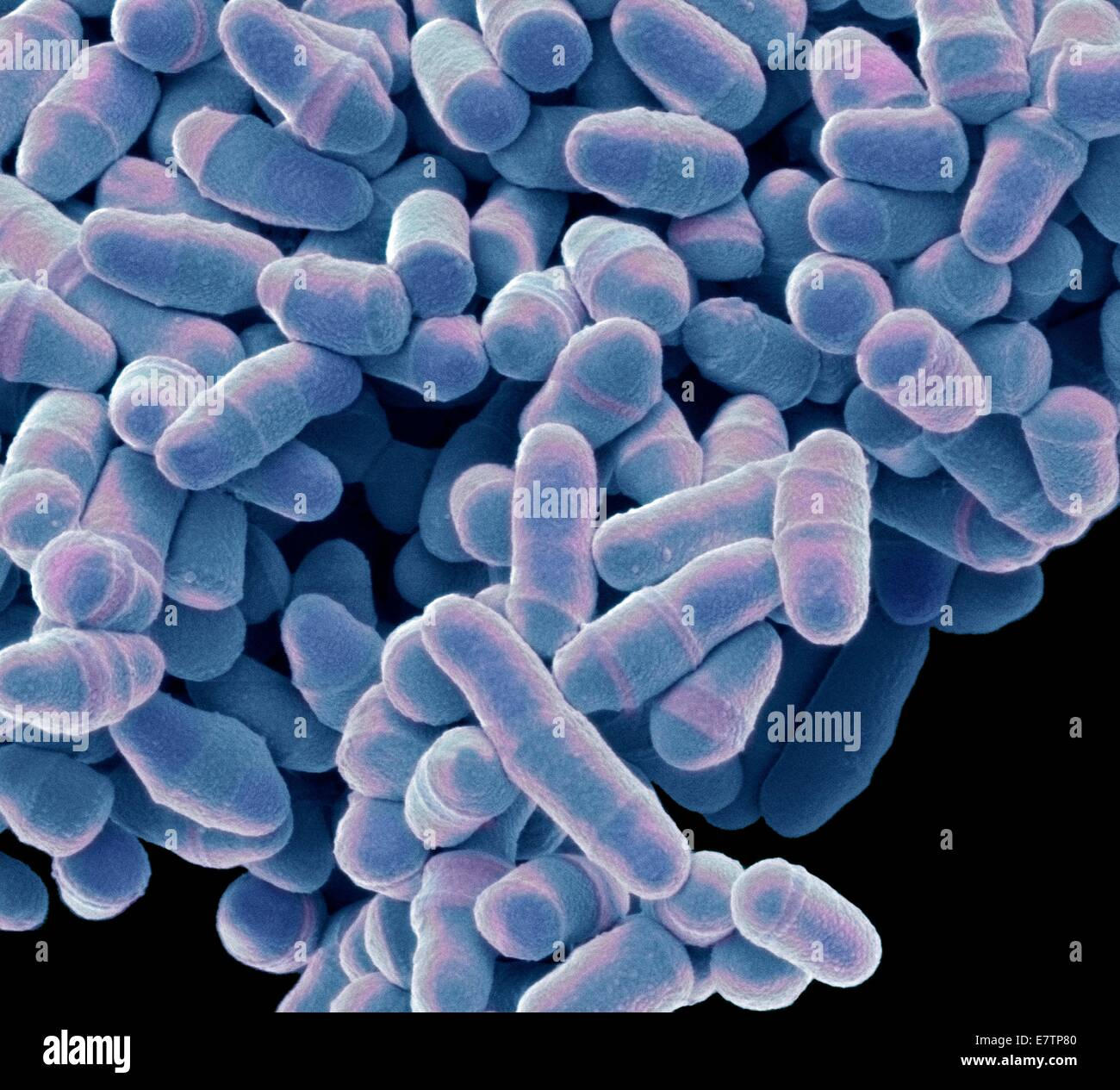 Coloured scanning electron micrograph (SEM) of Schizosaccharomyces pombe yeast. S. pombe is a single-celled fungus - Stock Image