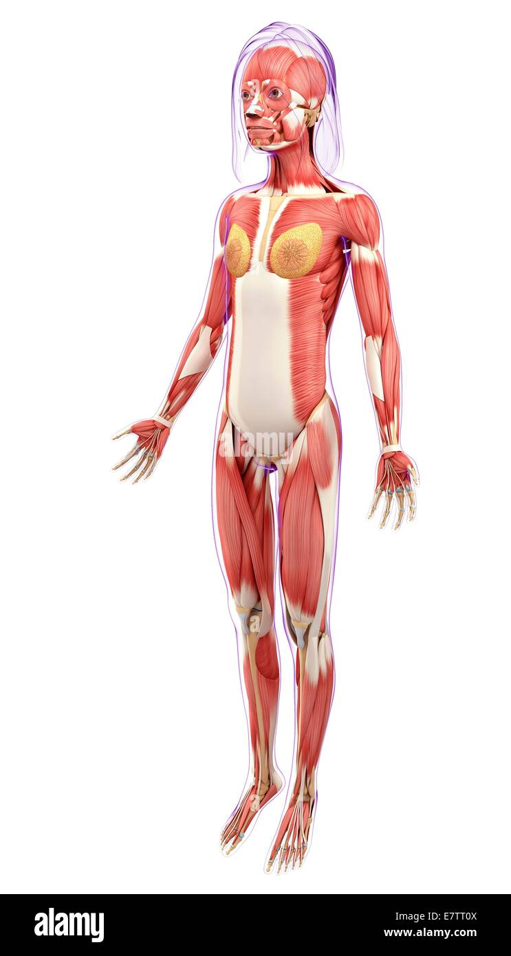 Female muscular system, computer artwork Stock Photo: 73689754 - Alamy