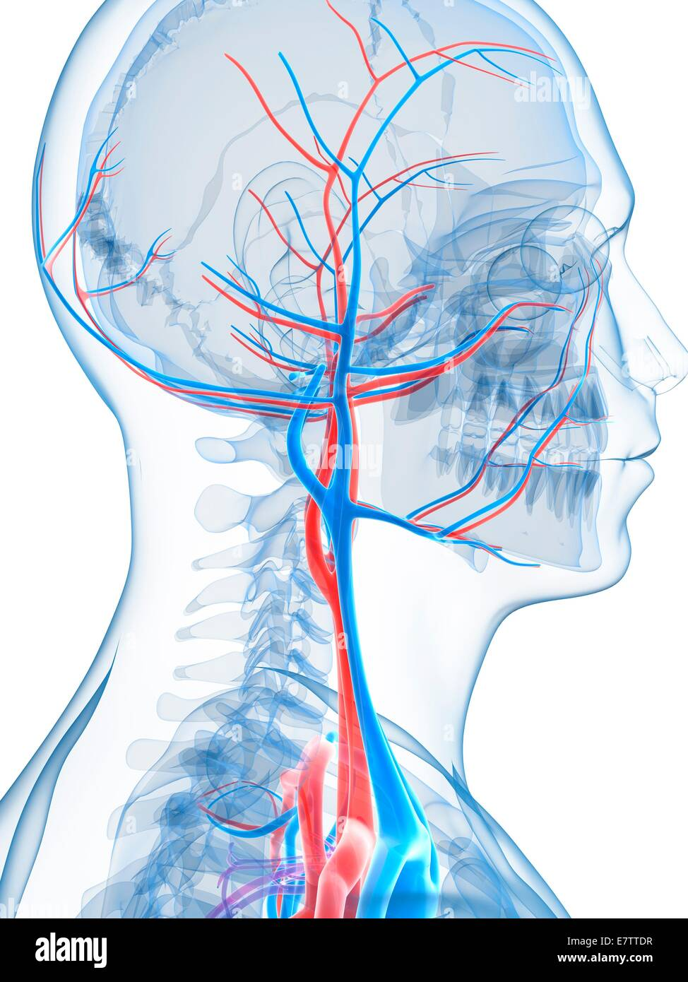 Human Vascular System Of The Head Computer Artwork Stock Photo