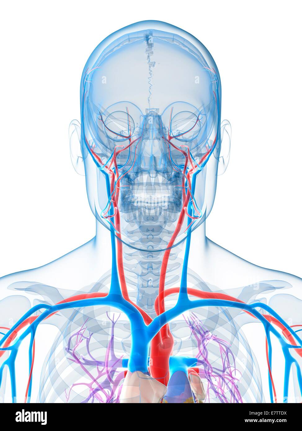 Human Head Arteries Computer Artwork Stock Photos & Human Head ...