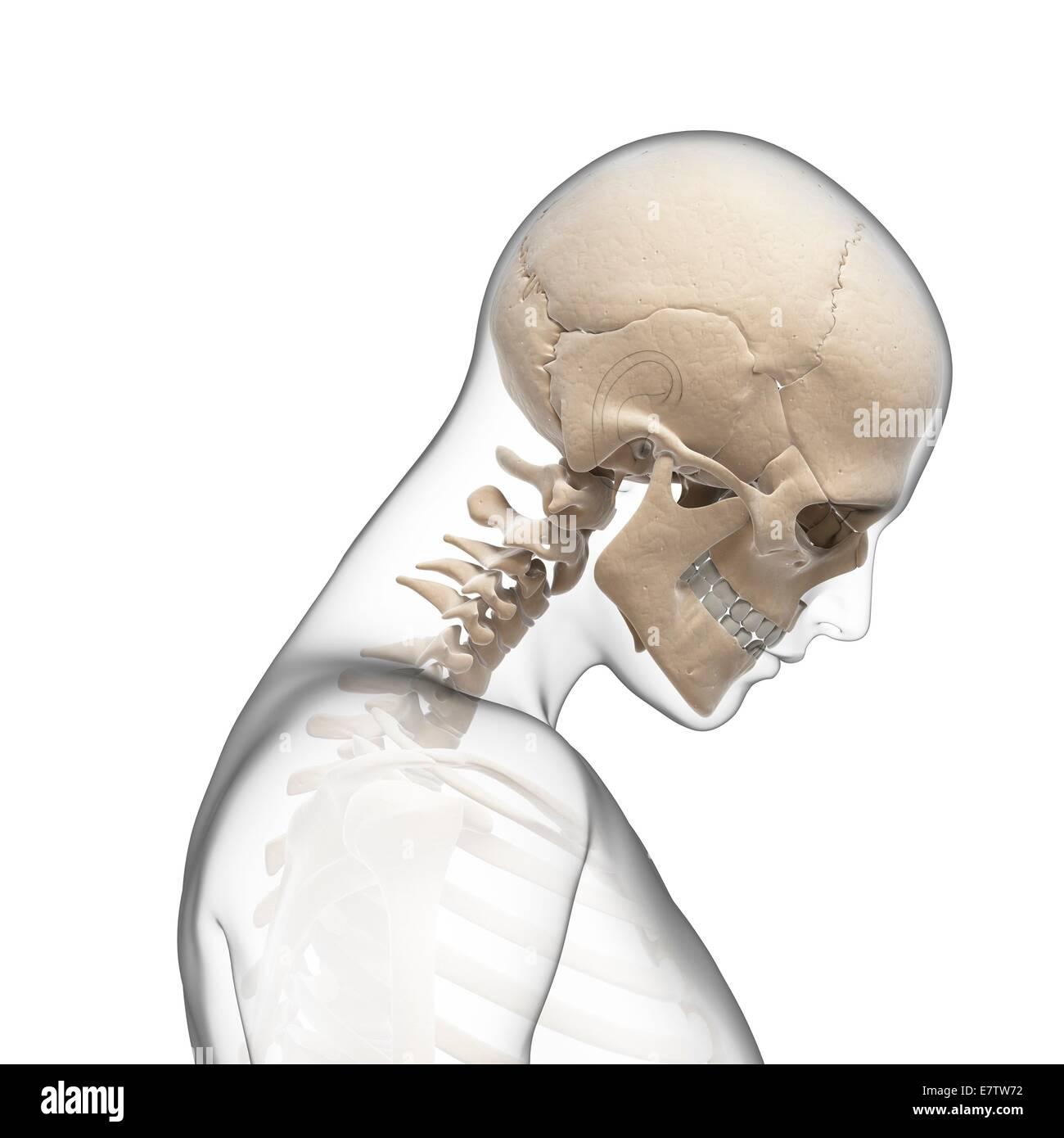Beste Anatomie Gesichtsknochen Fotos - Menschliche Anatomie Bilder ...