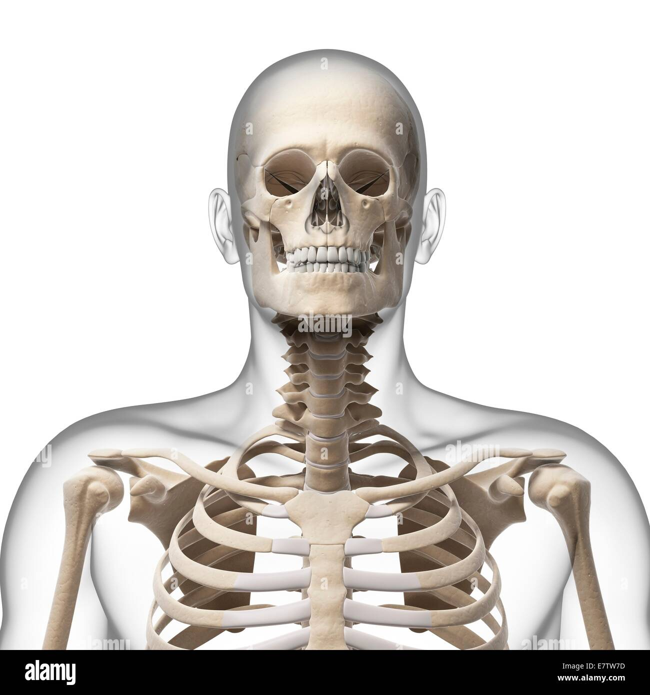 Front view head neck bones stock photos front view head neck bones human skull and neck bones computer artwork stock image ccuart Image collections