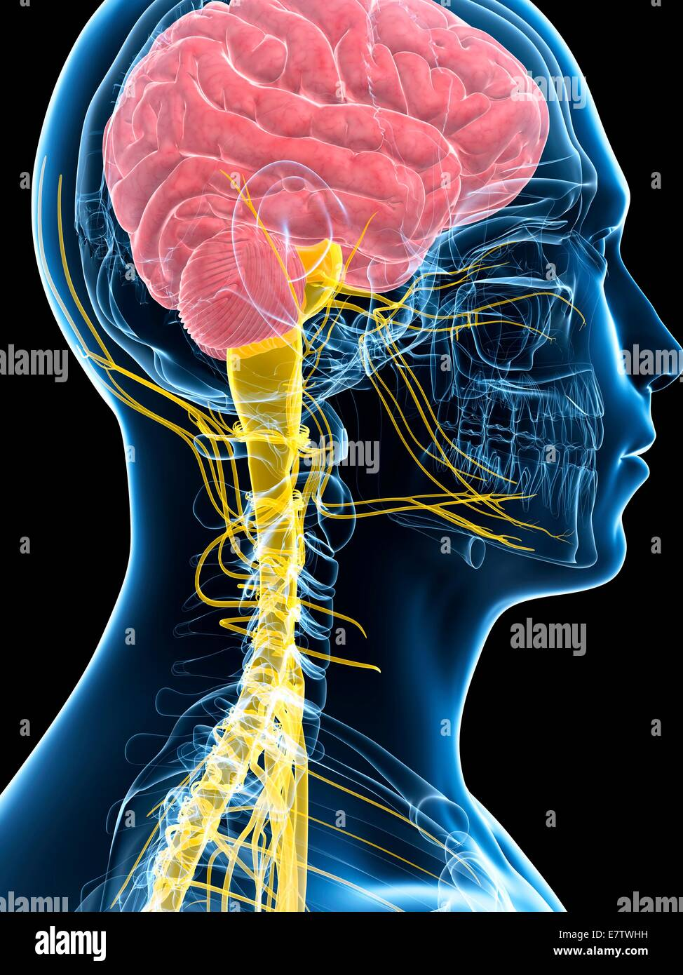 Human brain and spinal cord, computer artwork Stock Photo: 73691005 ...