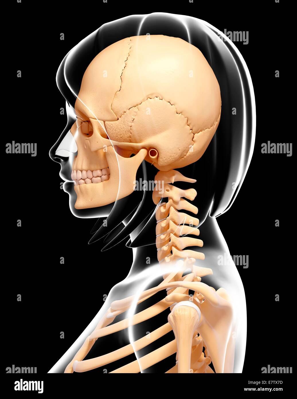 Human Skull And Neck Bones Computer Artwork Stock Photo 73691505