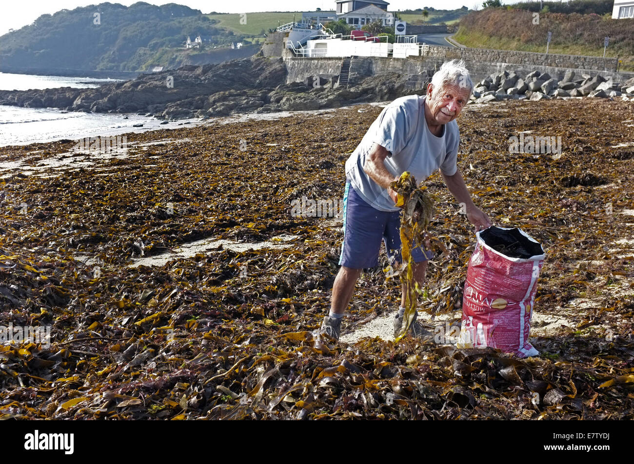 A retired gardener collects seaweed to be used a a manure on his allotment. This was taken on Swanpool beach near - Stock Image