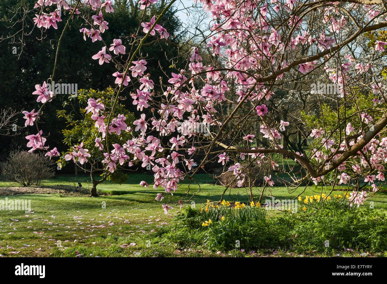 Royal Botanic Gardens, Kew, London.  Magnolia campbellii or pink tulip tree, spring Stock Photo