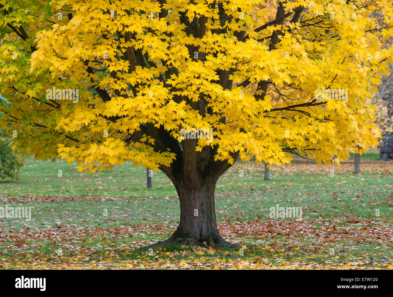 Royal Botanic Gardens, Kew, London.  A yellow form of Acer rubrum (red maple or swamp maple) looks spectacular in autumn Stock Photo