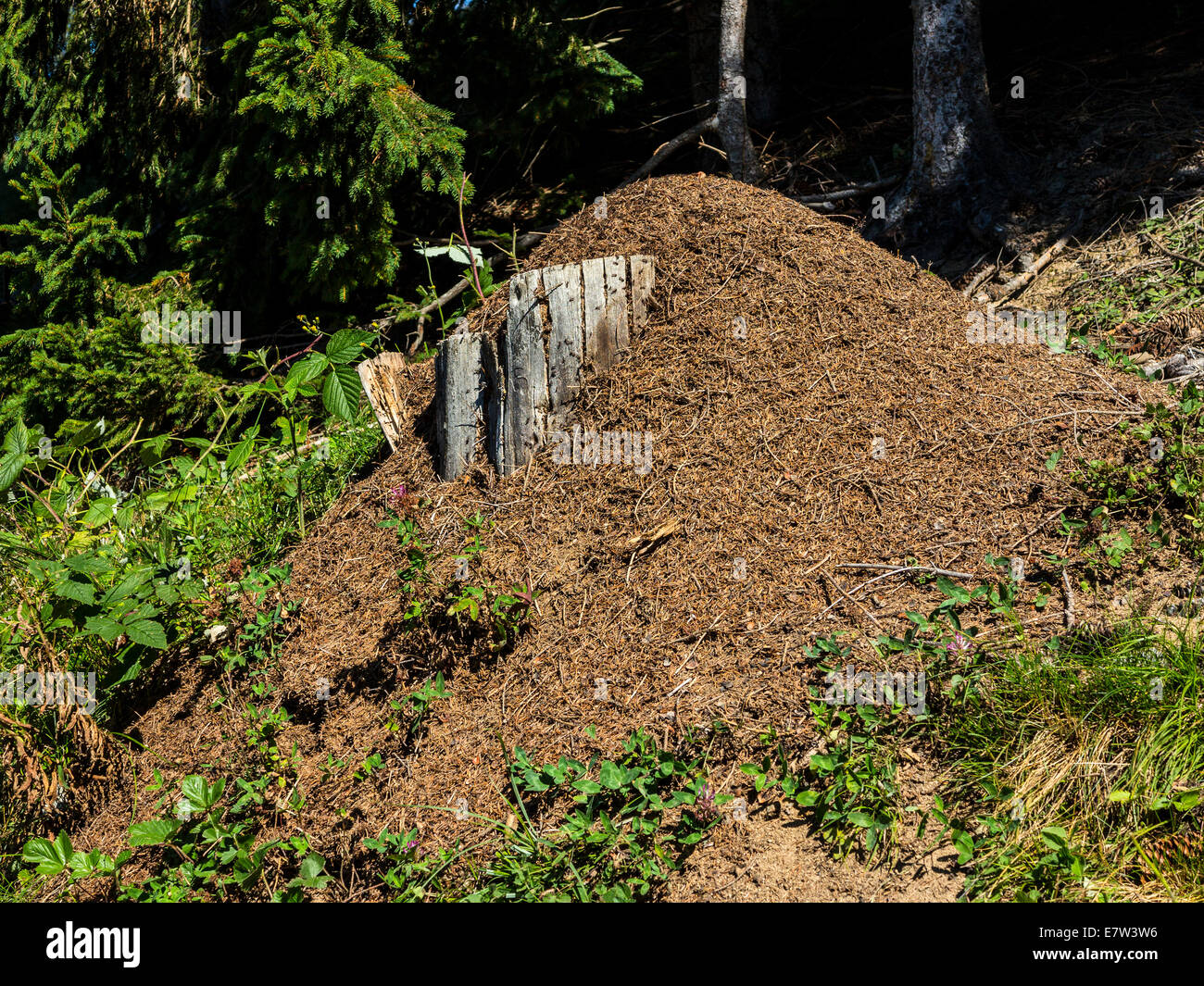 A wood ants nest (Formica rufa) built in a typical position, against a rotting stump where the sun can shine on - Stock Image