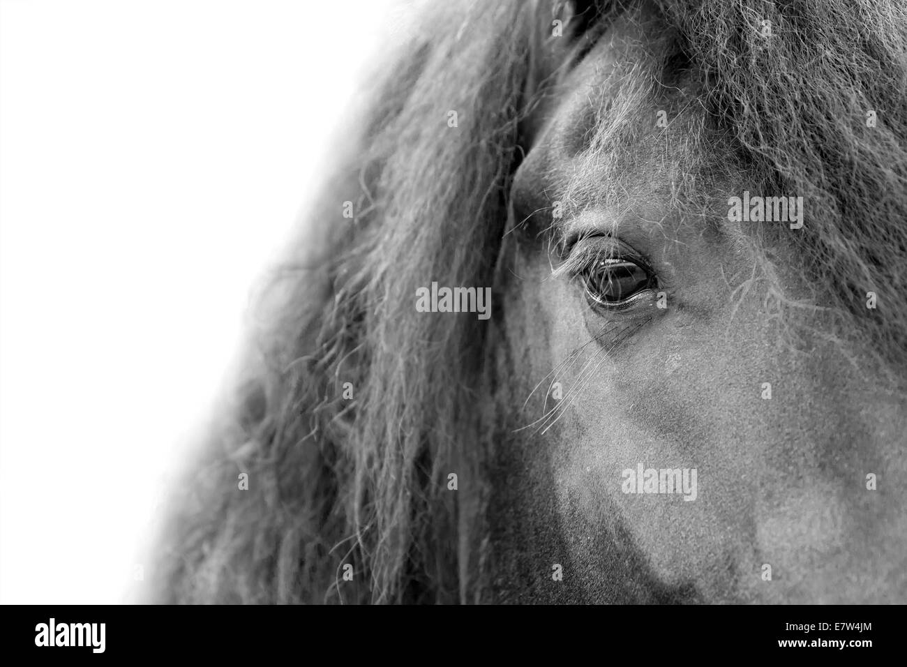 Close up of a Friesian / Frisian stallion horse head eye and mane with white background - Stock Image