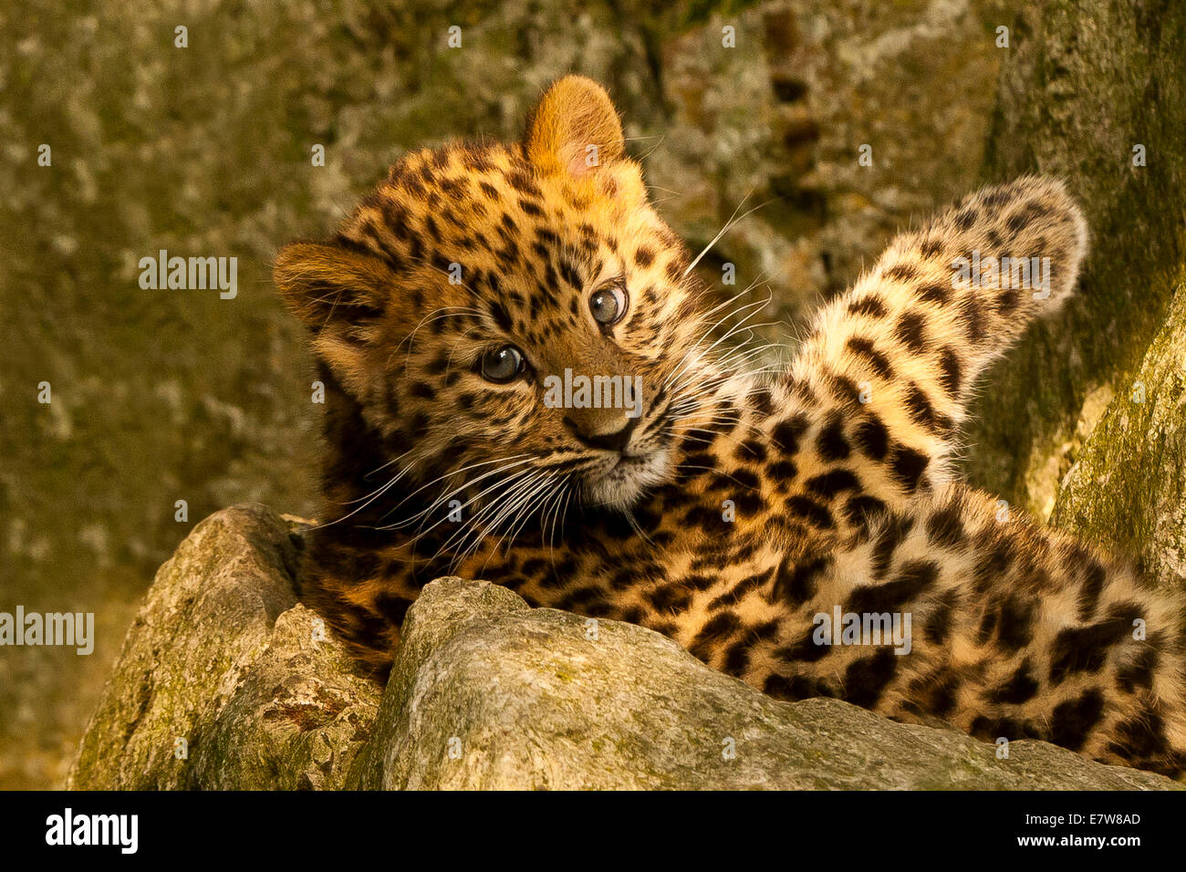 Extremely Rare Amur Leopard Cub (Panthera Pardus Orientalis) Laying On Rock - Stock Image