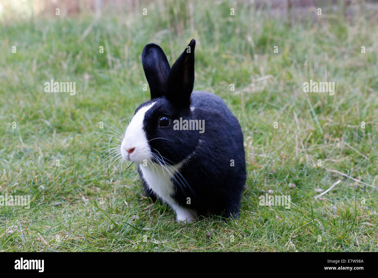 Black pet rabbit with cute white nose Stock Photo ...