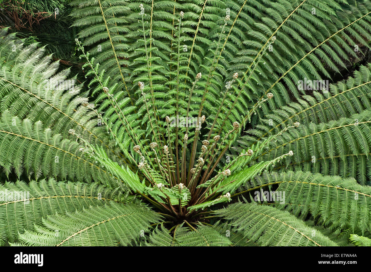 Royal Botanic Gardens, Kew, London.  Fern in the Temperate House, currently closed for restoration - Stock Image