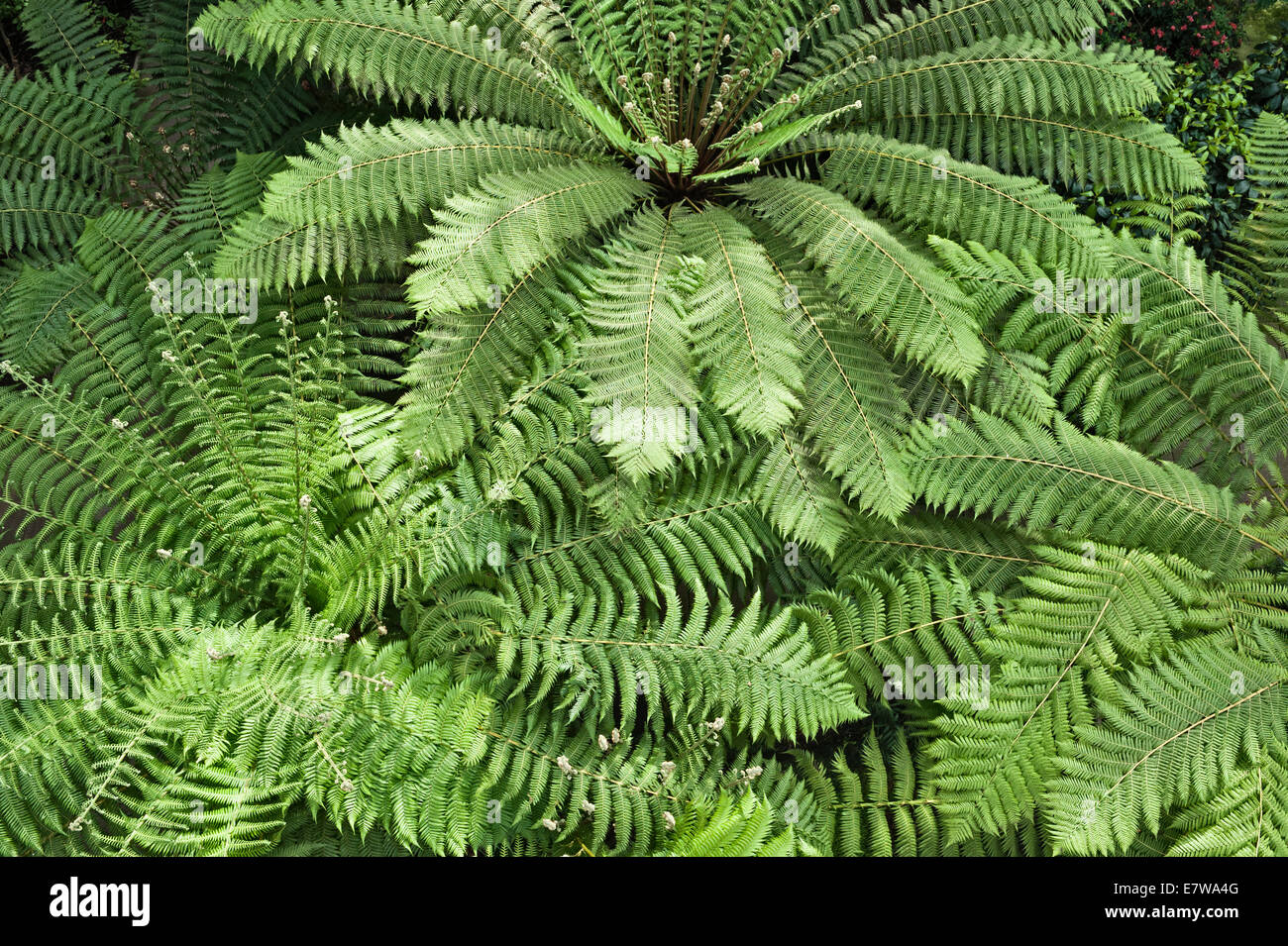 Royal Botanic Gardens, Kew, London.  Ferns in the Temperate House, currently closed for restoration - Stock Image