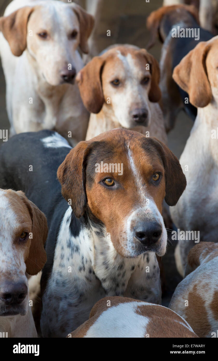 Hunt hounds, North Yorkshire, England - Stock Image