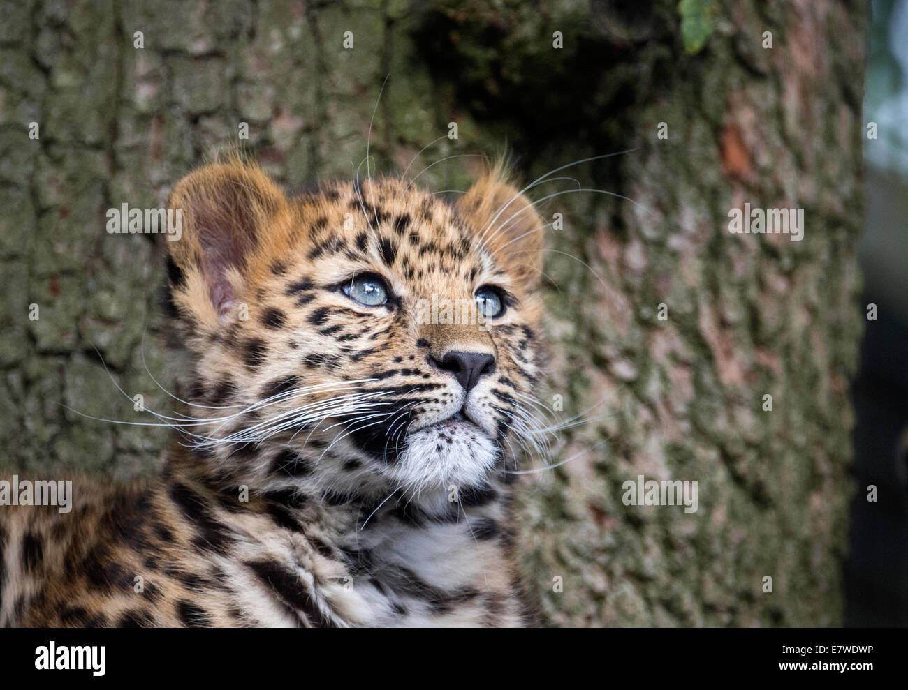 Female Amur leopard cub looking up - Stock Image
