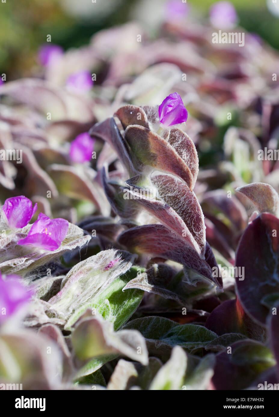 White Velvet plant, aka White Gossamer Plant, Hairy Wandering Jew, Cobweb Spiderwort (Tradescantia sillamontana) - Stock Image