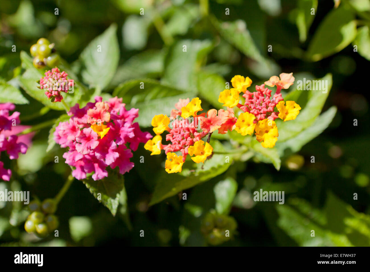 Lantana flowers (Lantana camara) - Stock Image