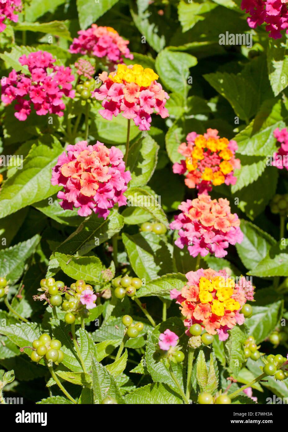 Lantana flowers (Lantana camara) Stock Photo