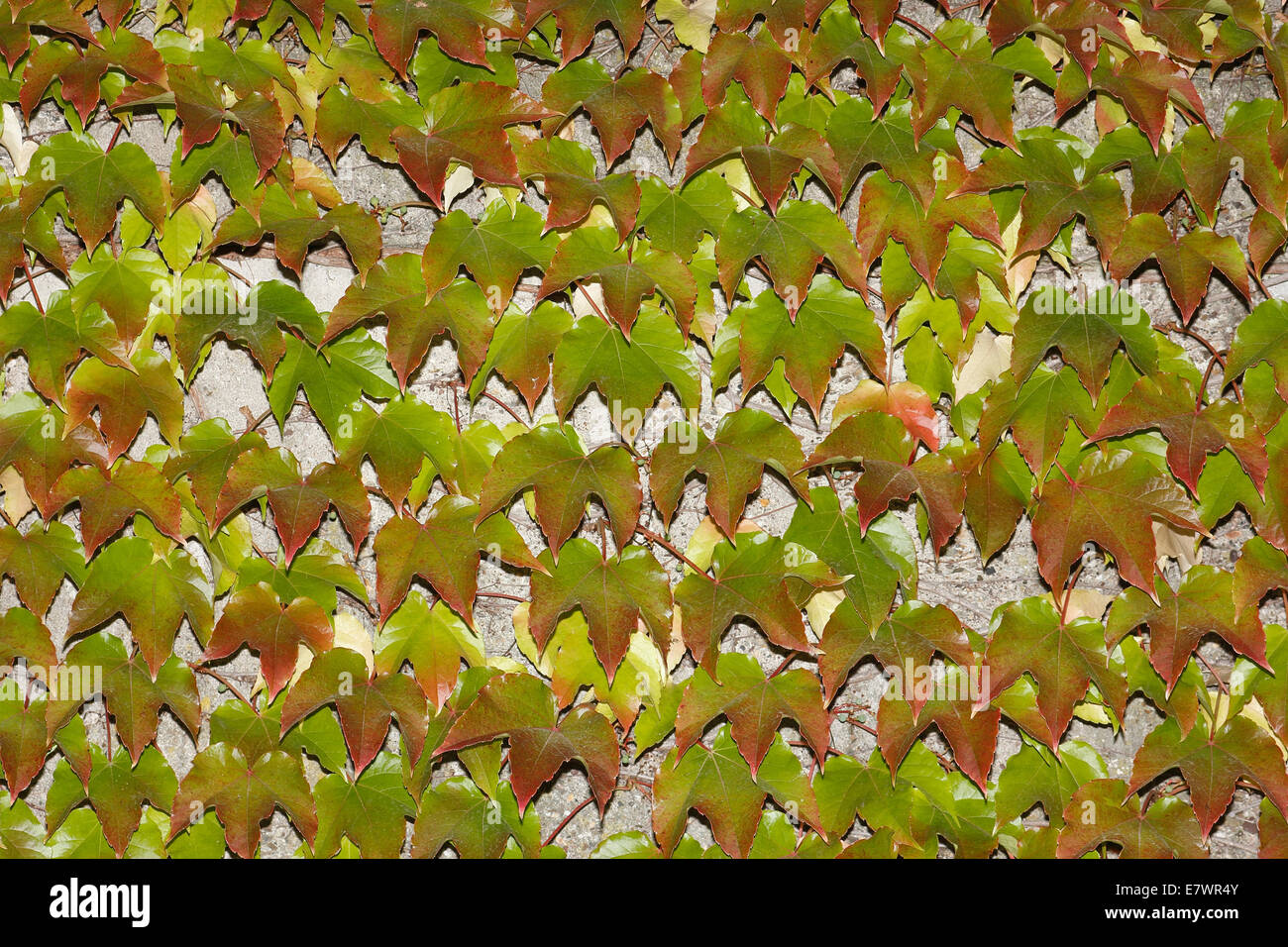Ivy Climbing On The Wall Of A House Stock Photos & Ivy Climbing On ...