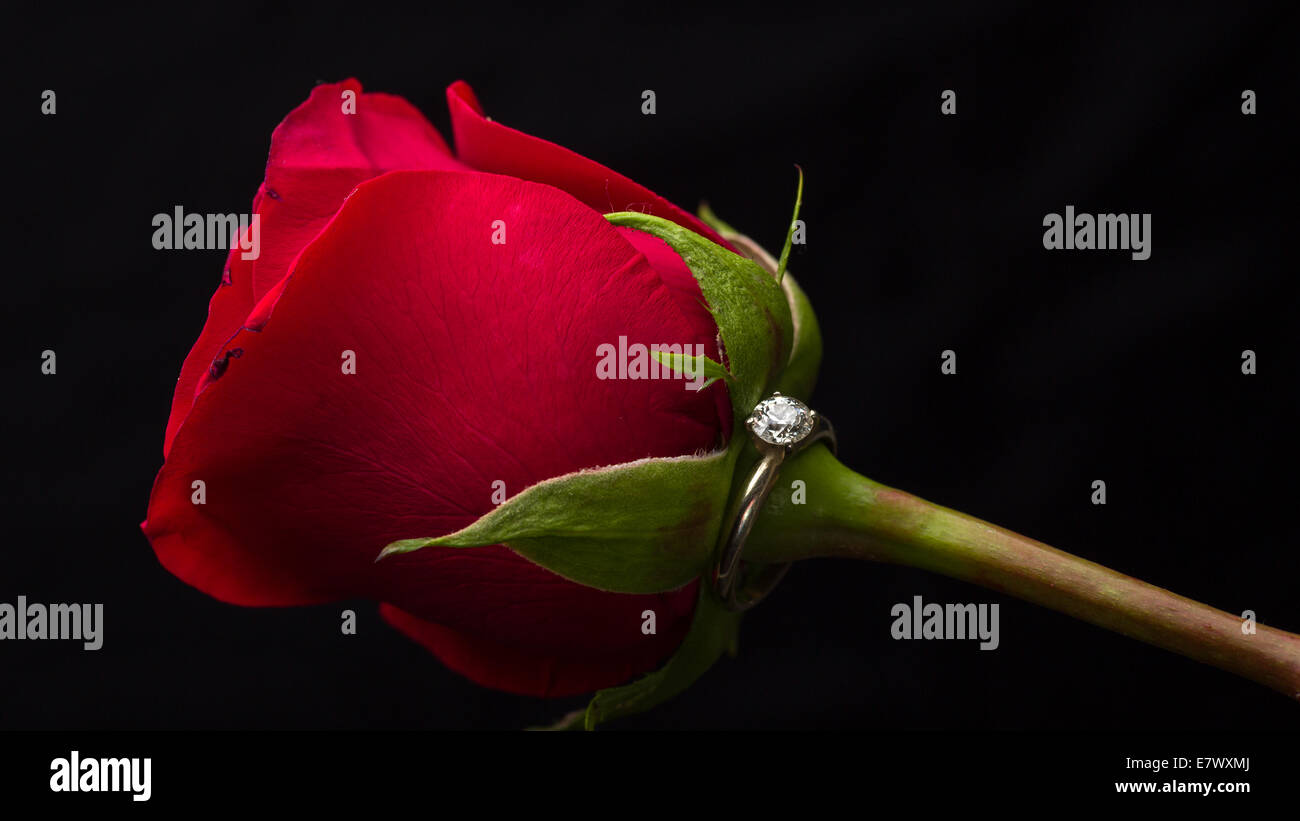 The perfect Valentine's Day gift, an engagement ring on a red rose - Stock Image
