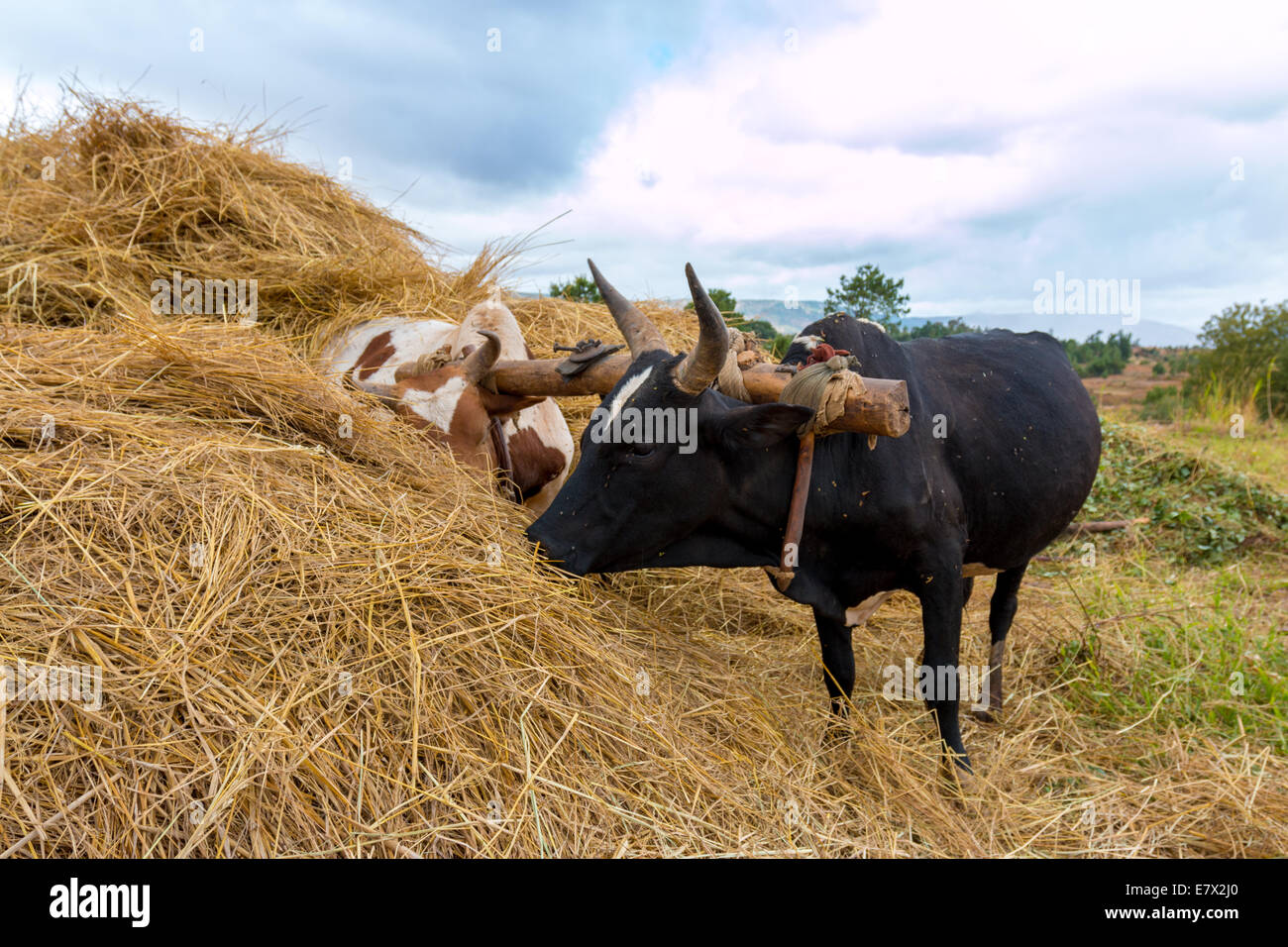 A pair of oxen fitted with a yoke eating from a haystack - Stock Image