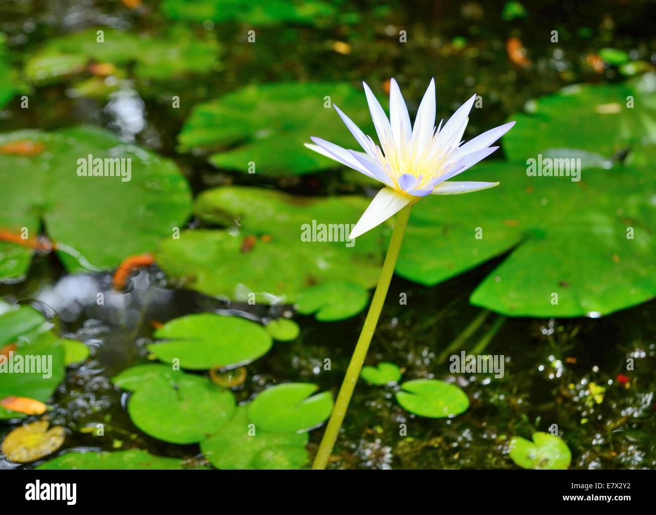 Water Lily Flower White Background Stock Photos Water Lily Flower