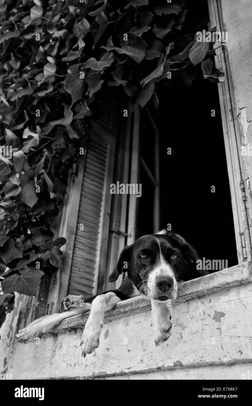 Dog on window , athens plaka - Stock Image