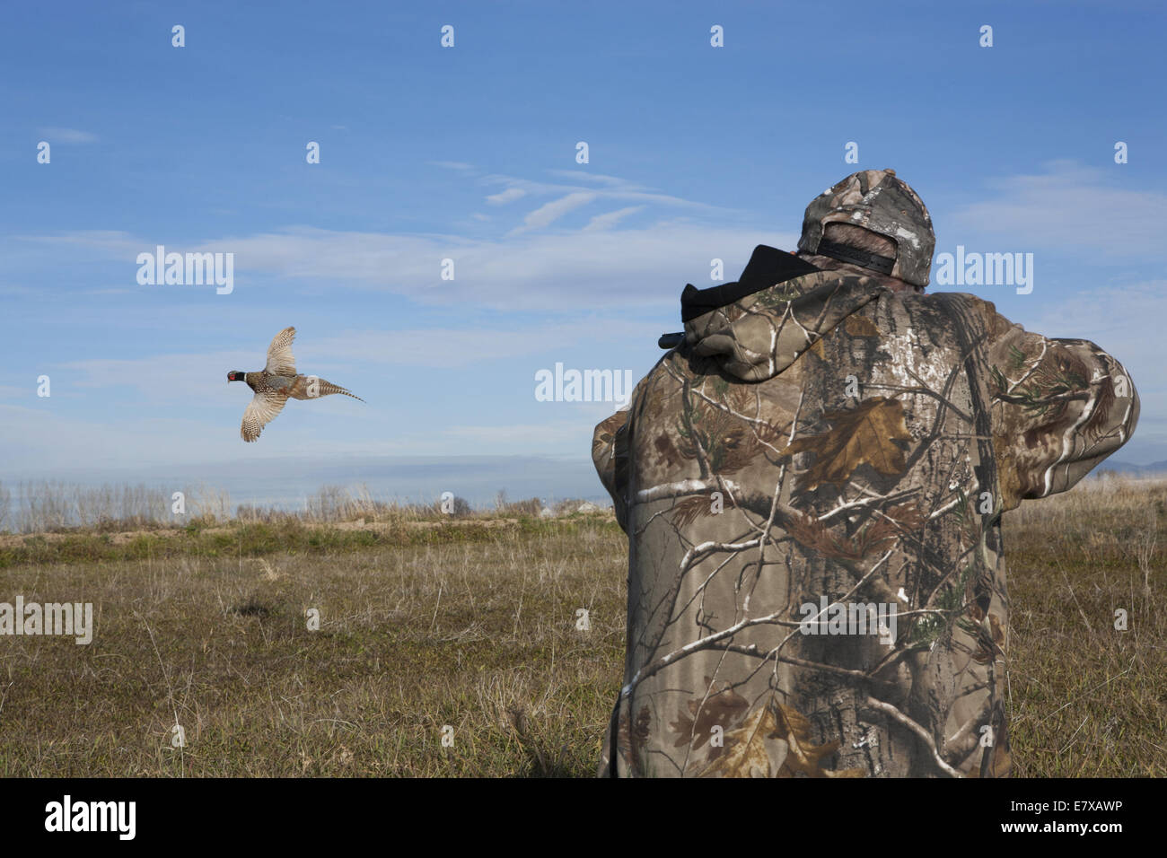 Man in field hunting ring- necked pheasant  with shot gun Stock Photo