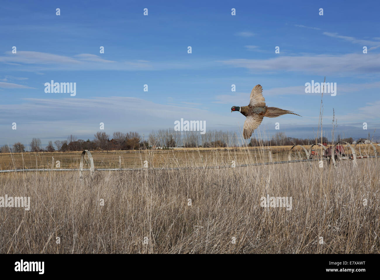 Ring-necked pheasant flying over field in fall - Stock Image