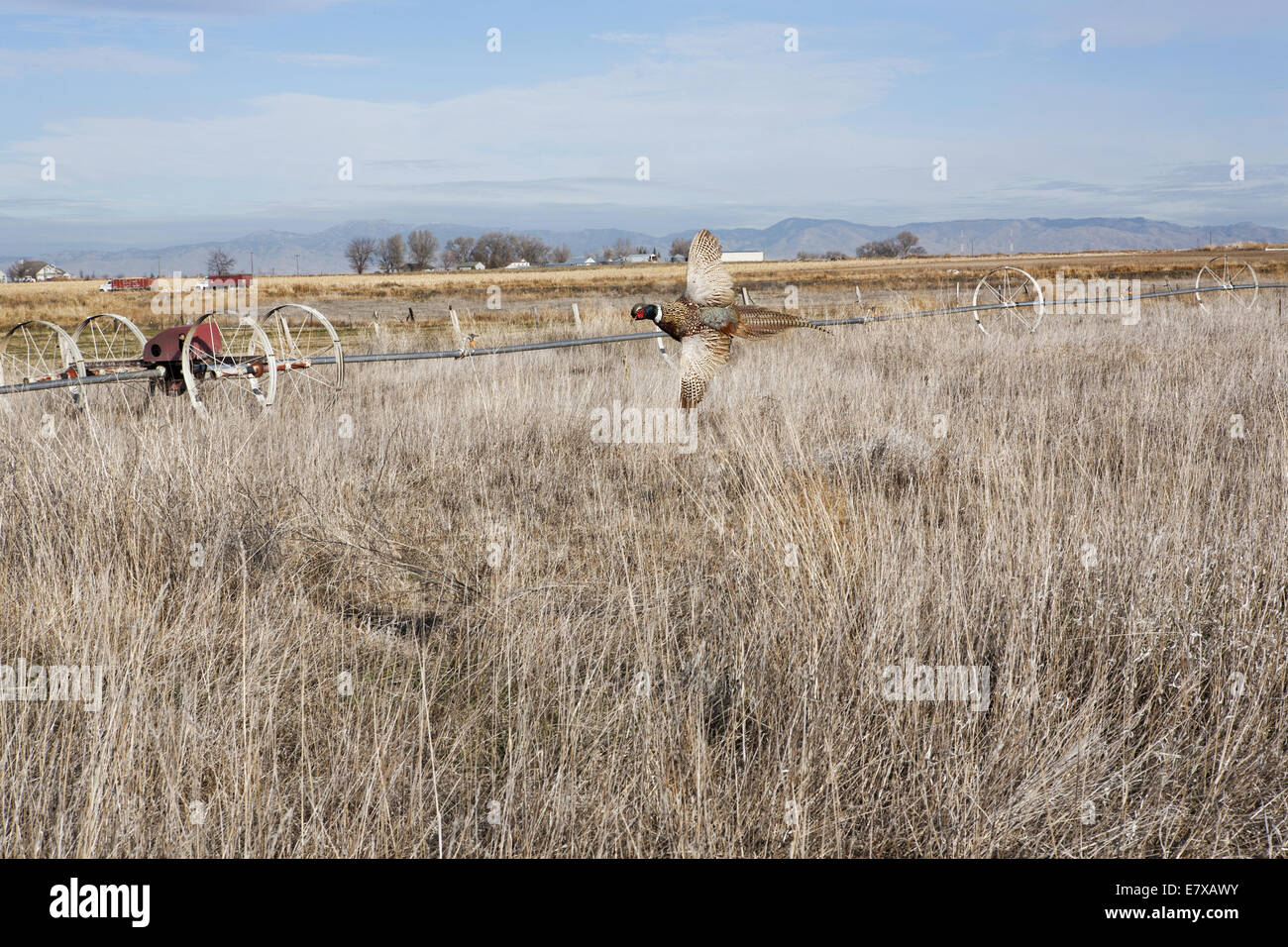 Ring-necked pheasant flying over field in fall Stock Photo