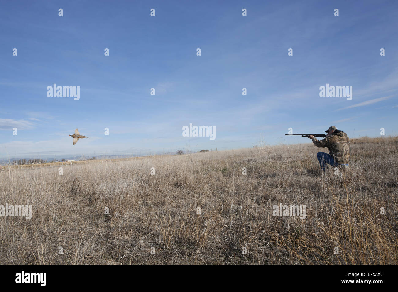 Man in field hunting ring-necked pheasant with shot gun - Stock Image
