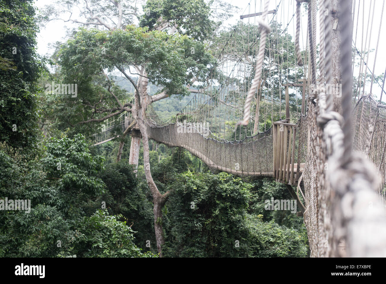 rope bridge connecting trees in kakum national park - Stock Image