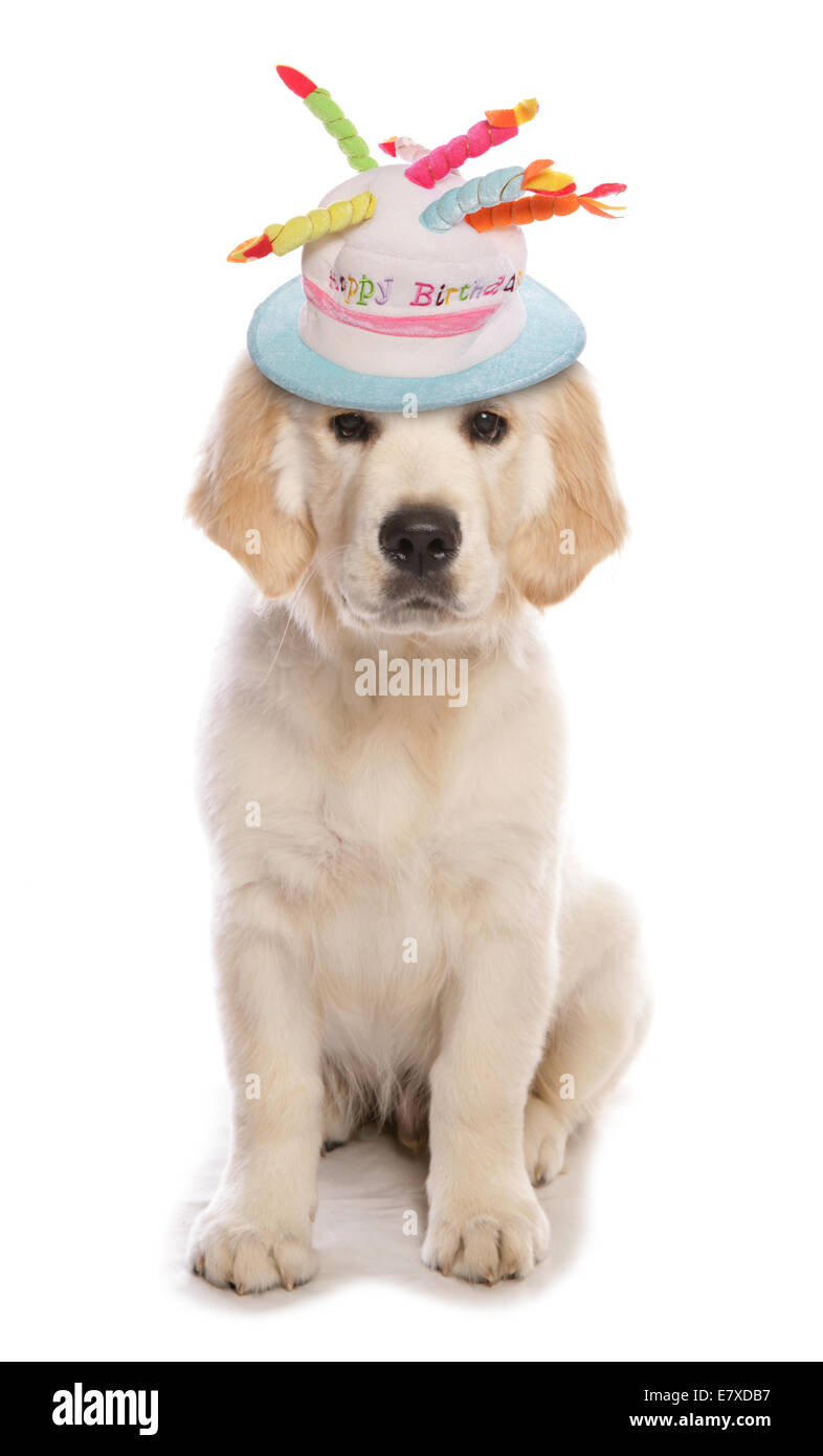 Golden Retriever Dog Wearing A Birthday Hat