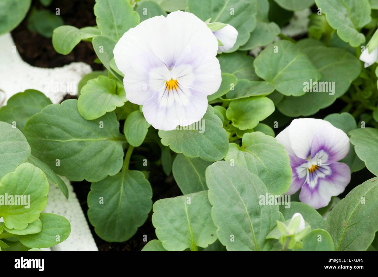Viola ' Pink Halo ' - Stock Image