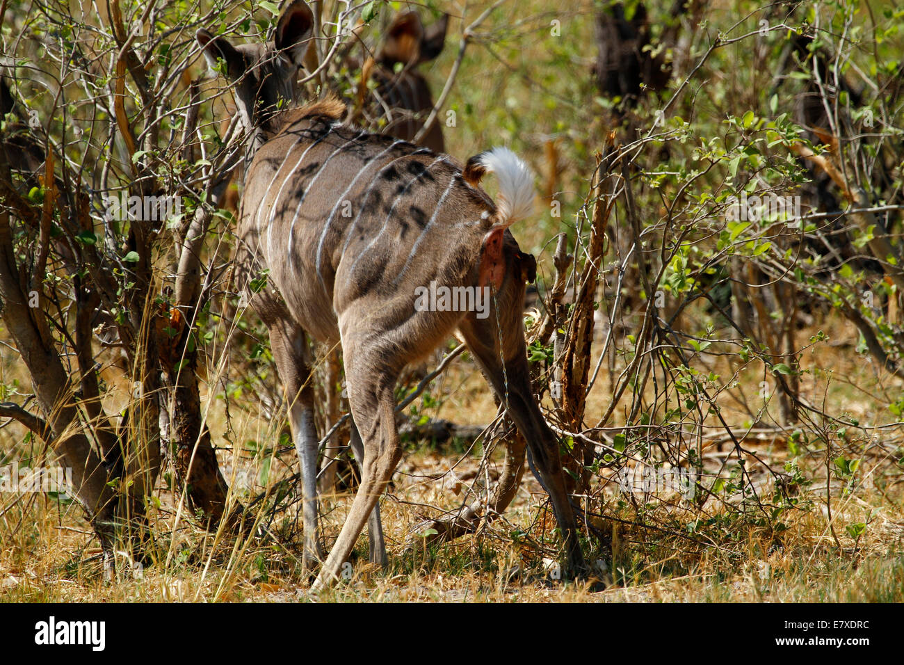 African Wild Greater Kudu Antelope having a pee in the bush veld