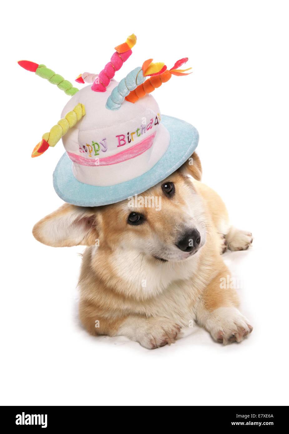 Welsh Corgi Wearing A Happy Birthday Hat