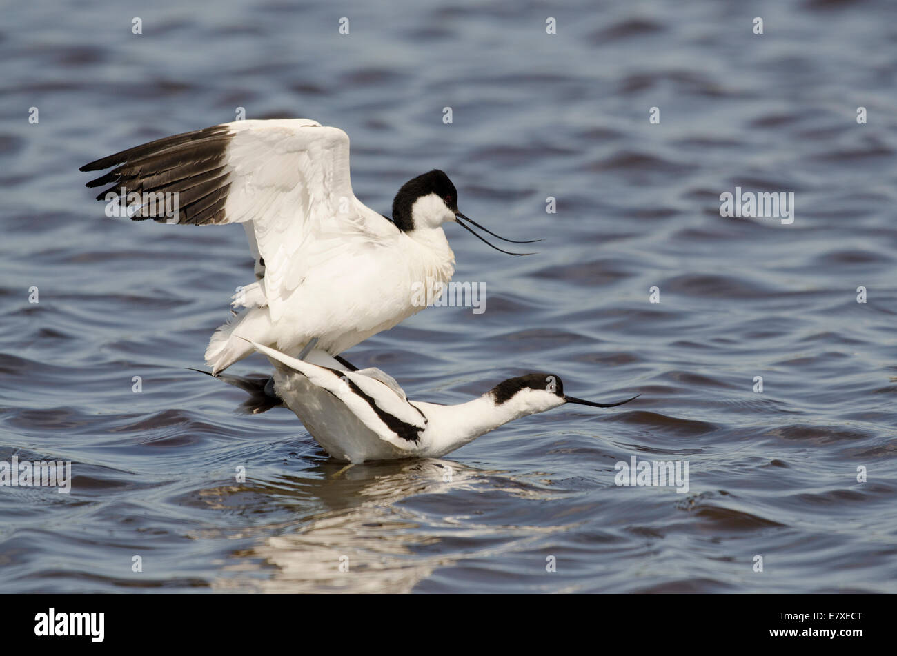 Avocets mating in shallow water Recurvirostra avosetta - Stock Image