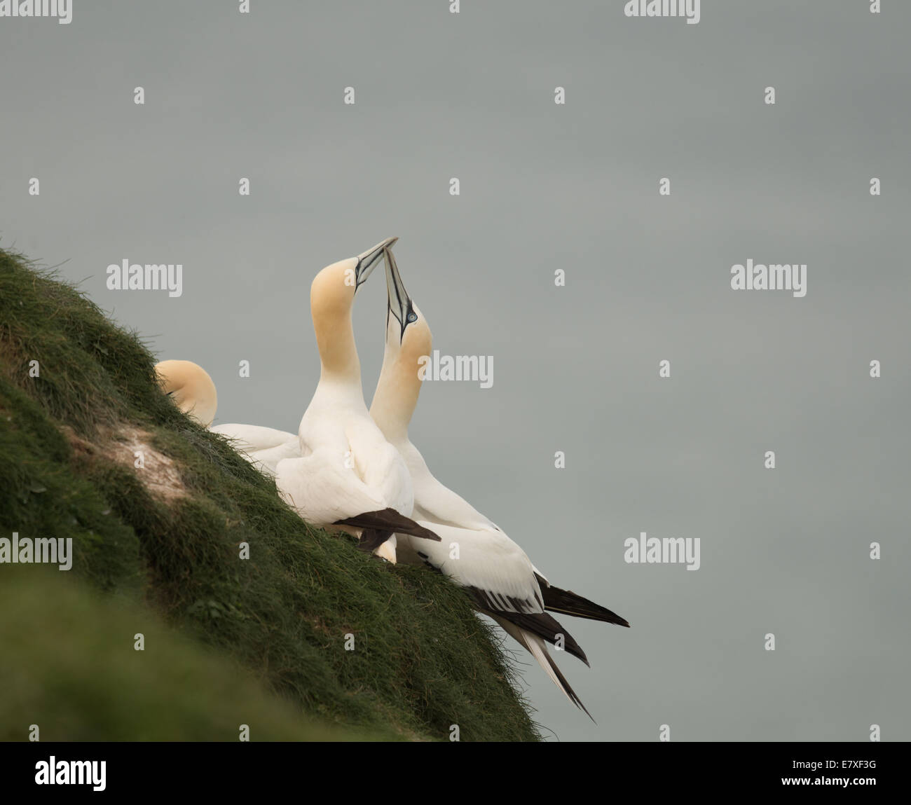 Gannets touching beaks which is a mating ritual. Morus bassanus - Stock Image