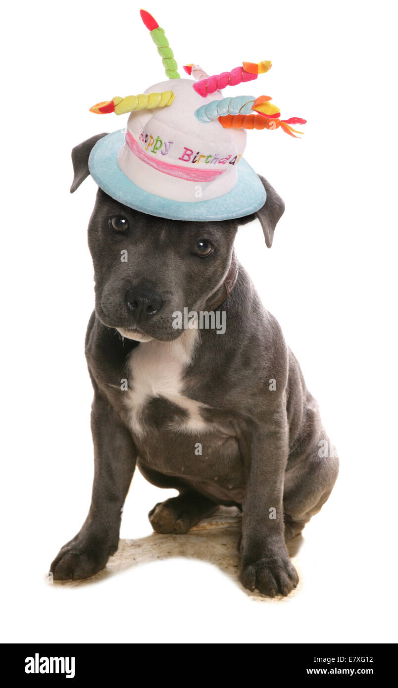 Staffordshire Bull Terrier In Happy Birthday Hat