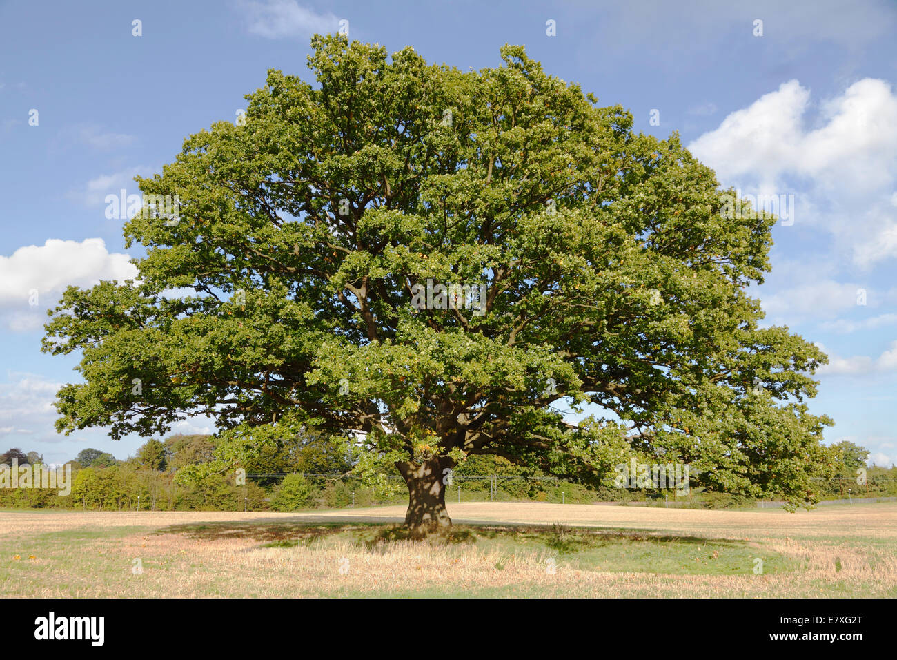 Big, old oak tree (common oak, English oak, Quercus robur) with green leaves on an early autumn blue sky. Stock Photo