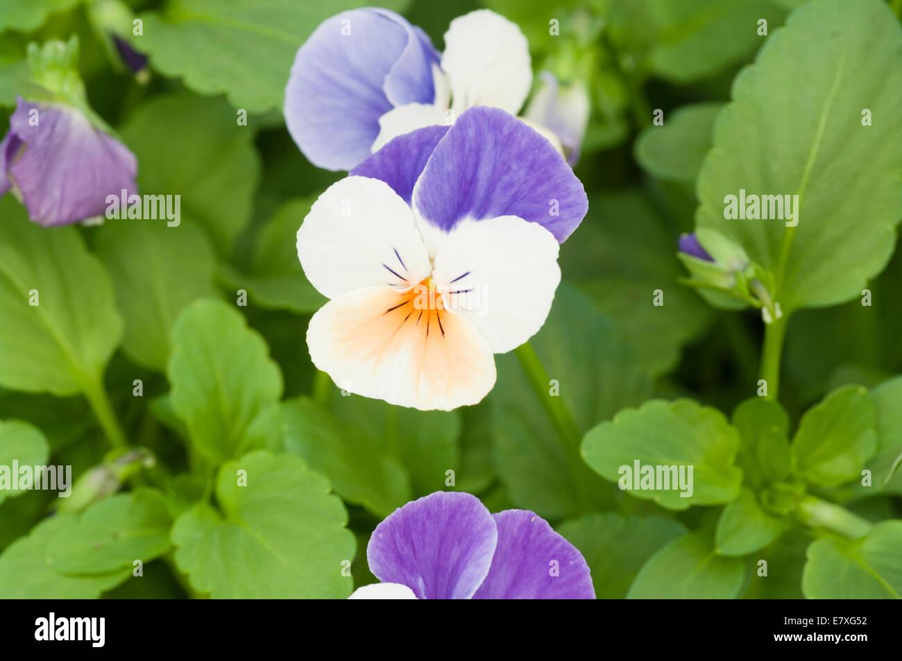 Viola ' Penny Peach Jump Up ' - Stock Image