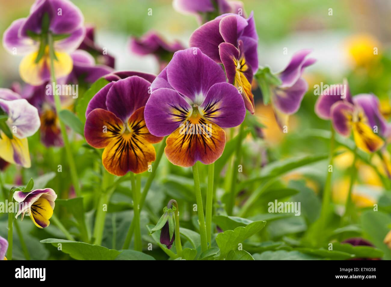 Viola ' Sorbet Antique Shades ' - Stock Image