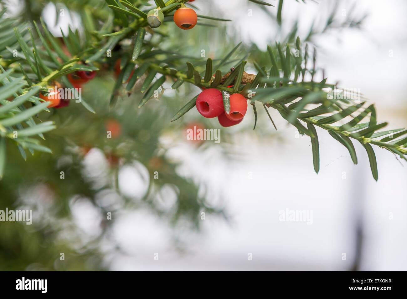 Yew Berries - Stock Image