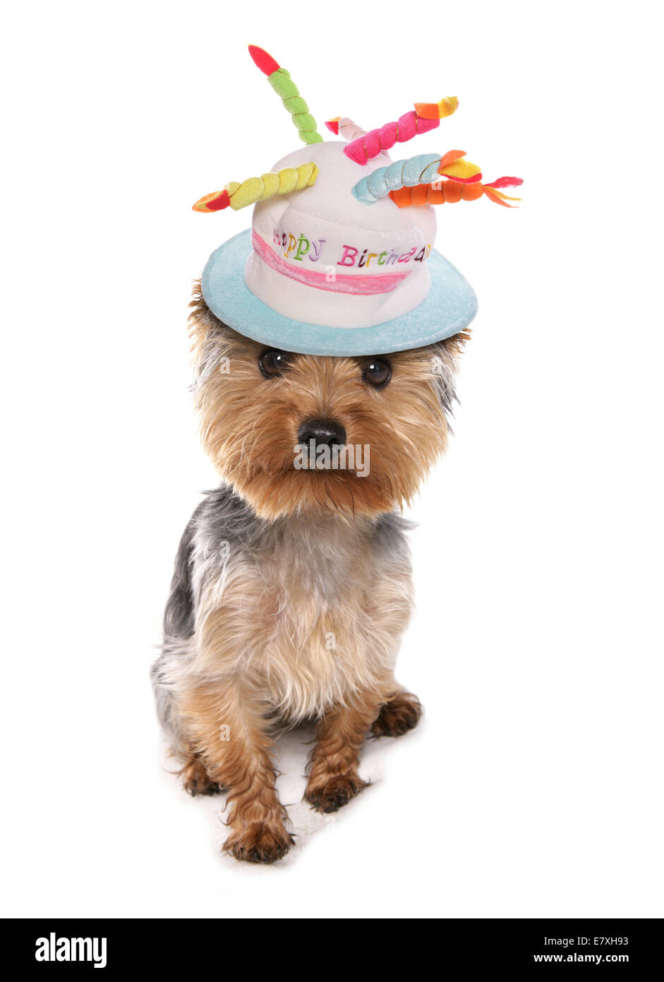 Yorkshire Terrier Wearing Happy Birthday Hat Stock Photo
