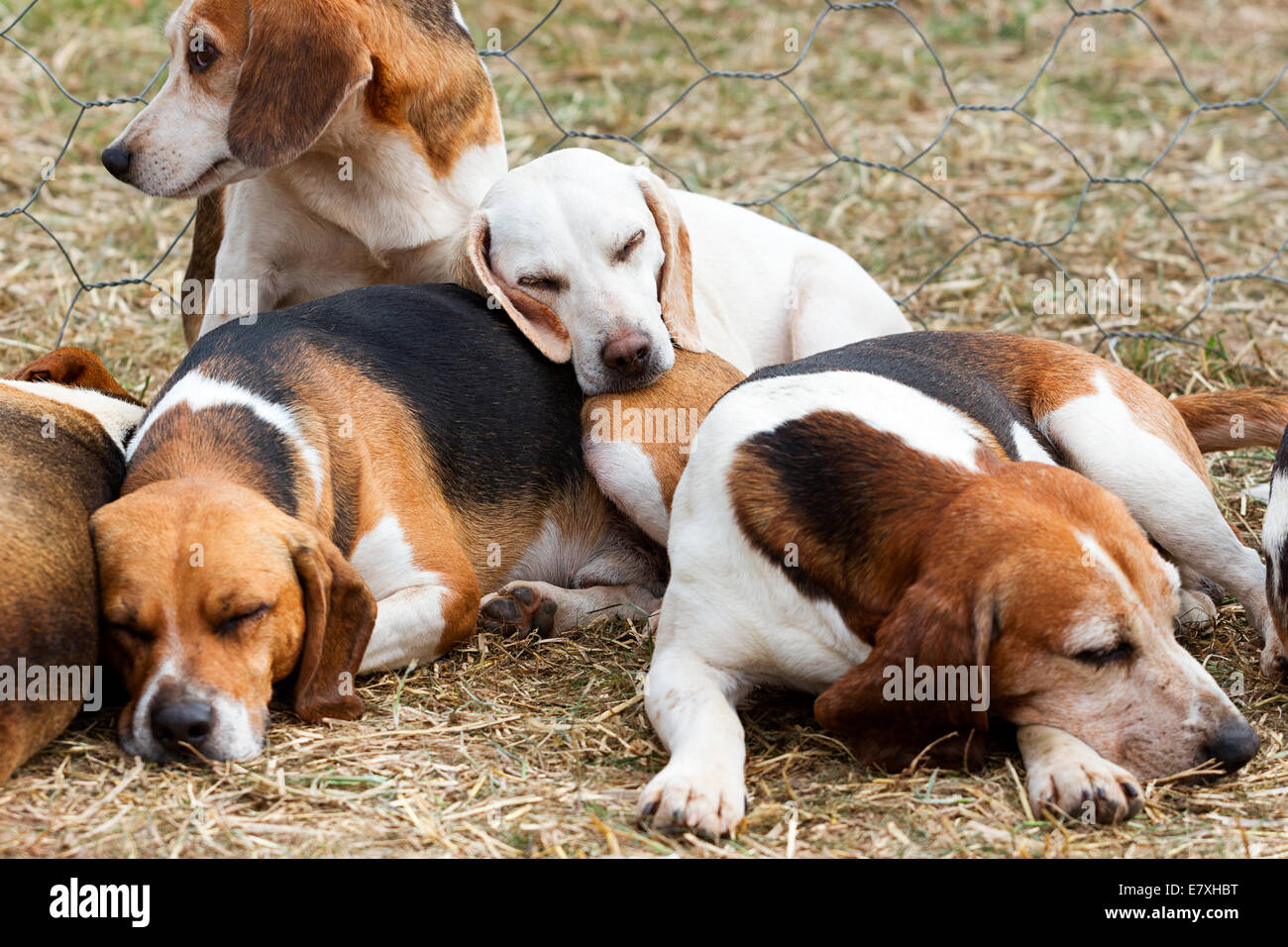 East Stoke, Nottinghamshire, UK. 25th September, 2014. The Per Ardua Beagles have a well earned sleep after spending - Stock Image