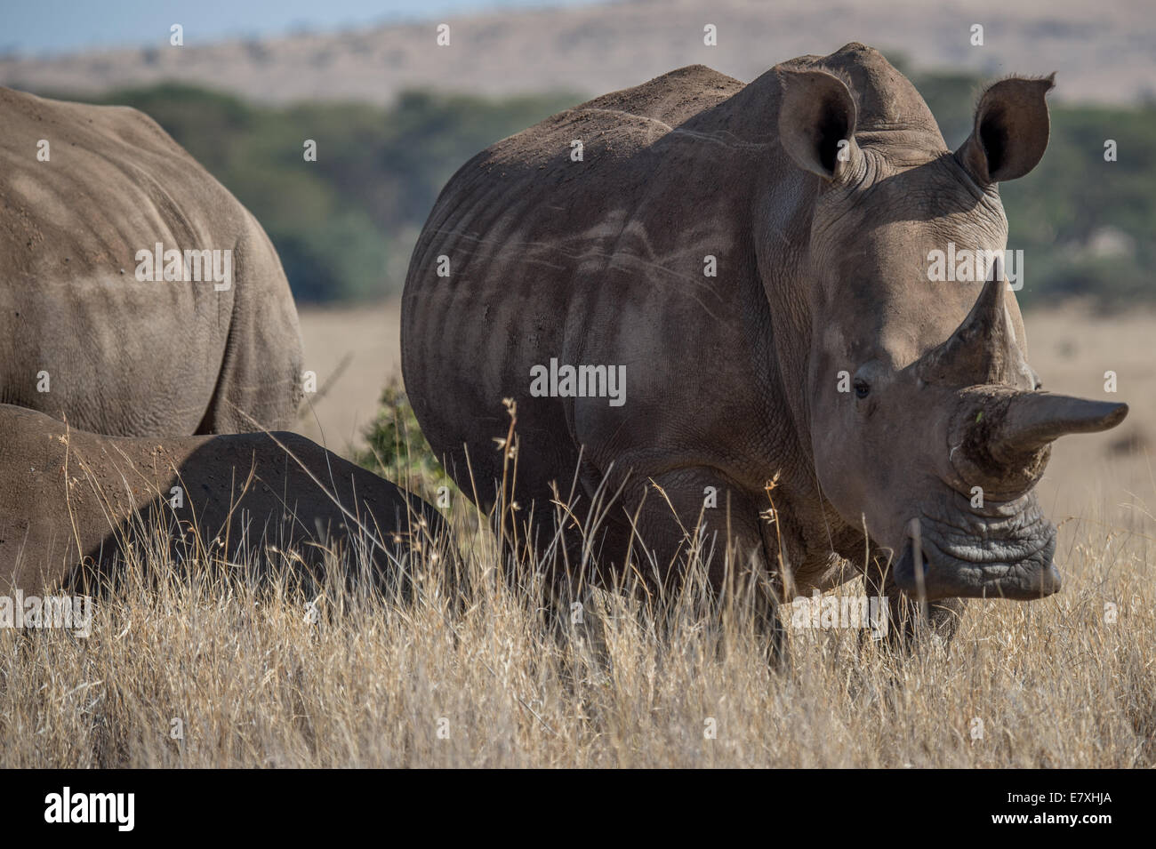 Black rhinos graze at Lewa Conservancy in Northern Kenya.The Lewa Wildlife Conservancy serves as a refuge for endangered - Stock Image