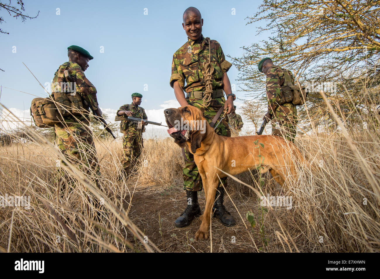Gilia Eshian handles a bloodhound used for anti poaching trips a the Lewa Wildlife Conservancy in Northern Kenya. - Stock Image
