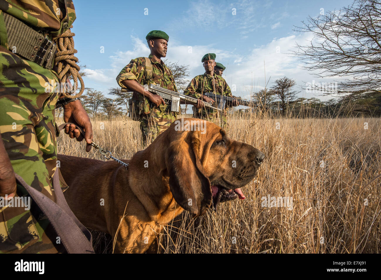 An antipoaching patrol at the Lewa Wildlife Conservancy. Dog handlers use bloodhounds to track poachers, and the - Stock Image